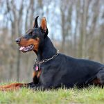 Best Dog Foods for Dobermans